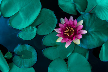 Beautiful lotus leaf near the pond, pure natural background, red lotus, lotus flower on the water...