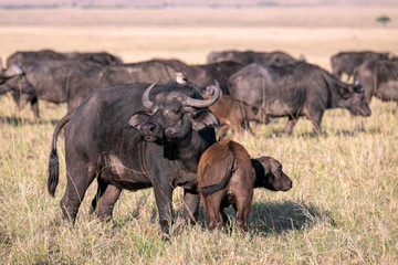 Foto op Plexiglas Buffel Mother cape buffalo with a young calf close by her side, with the rest of the herd showing in the background. Image taken in the Masai Mara, Kenya.