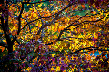 Autumn foliage background with dark limbs and bright festive leaves in yellow and purple - soft focus - beautiful