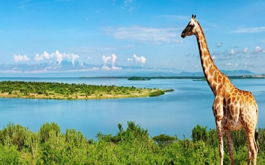 photography of giraffe