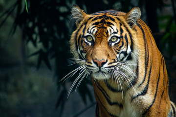 Fototapeten Tiger Proud Sumatran Tiger prowling towards the camera
