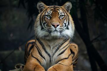 Photo sur Aluminium Tigre Sumatran Tiger landscape orientation