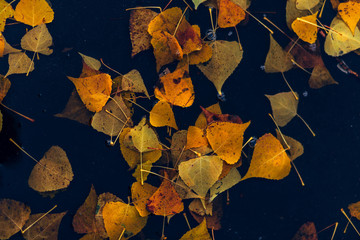 autumn maple leaf in water. mysterious dark still life, autumn season. rain and puddle with maple leaf. rainy day weather. fall backdrop. top view, copy space