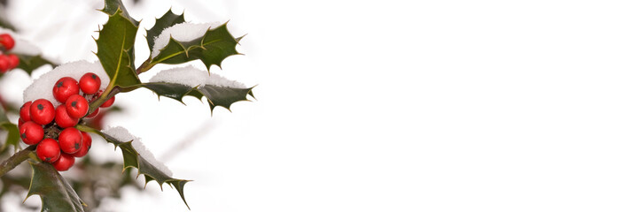 Close up of a branch of holly covered with snow in a garden, christmas and holiday panoramic background with copy-space