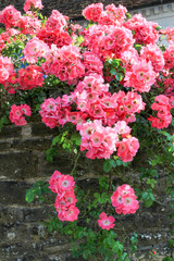 blooming roses hanging over the garden wall