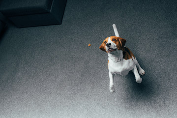 adorable beagle dog jumping at home with copy space