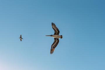 pelikane in der Luft in Kalifornien USA