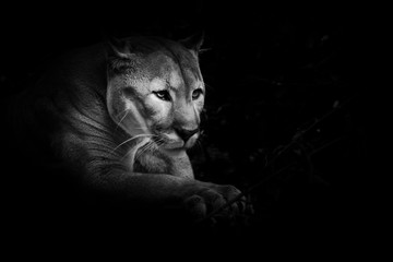 A proud beautiful predatory cat sits in the darkness. cat in the night forest, black background. cougar black and white photo, minimalism.