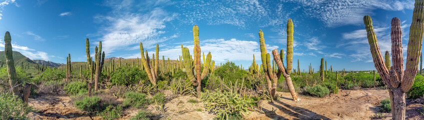 Spoed Foto op Canvas Cactus baja california sur giant cactus in desert