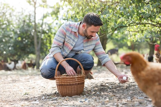 Farmer putting organic eggs in a brown basket on his farm