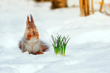 portrait of a cute red squirrel standing in the Park in white snow at the first flowers of snowdrops