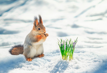 Foto op Plexiglas Eekhoorn cute red squirrel stands in the Park in white snow at the first flowers of snowdrops