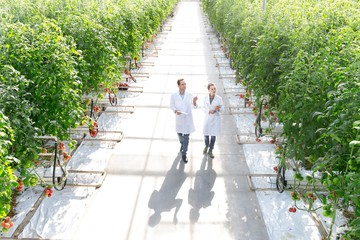 Crop scientist looking and examining tomatoes growing in Greenhouse