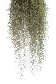 Spanish moss isolate on white background. Clipping path.