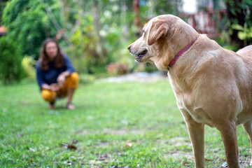Adult labrador dog in the yard on the green grass in the distance a young girl hostess
