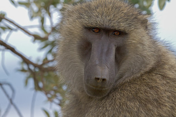 Foto auf AluDibond Affe Baboon in the Tanzanian national park