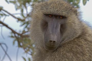 Türaufkleber Affe Baboon in the Tanzanian national park