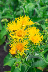 Elecampane flowers blooming, Inula helenium, with green leaves background