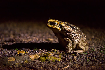 Toad photographed in Linhares, Espirito Santo. Southeast of Brazil. Atlantic Forest Biome. Picture made in 2013.