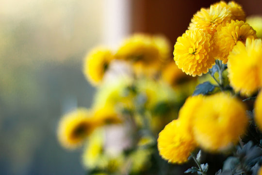 Blossom of yellow mums or chrysanthemum flowers on bright blue background with space for text at the left site