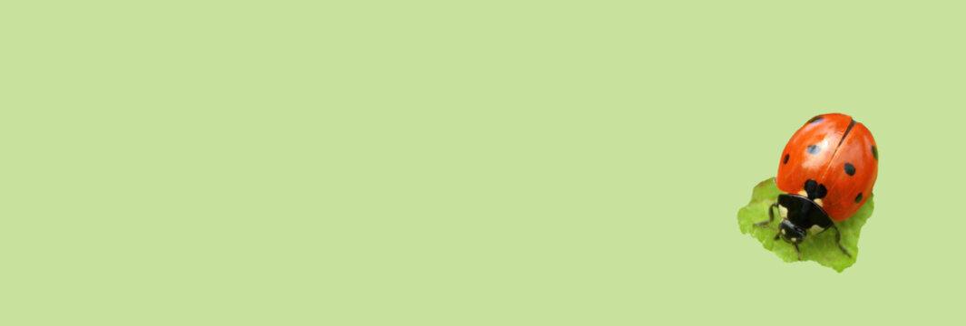 arrière-plan vert nature et coccinelle