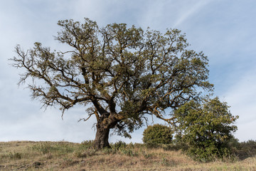 Centennial oak in the field with blue sky in the background with blue, green, yellow colors