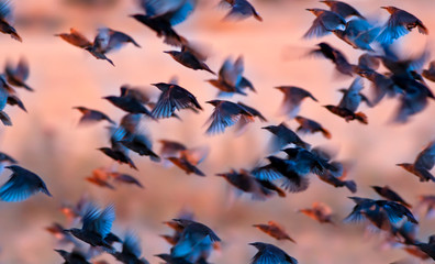 Flying birds. Birds silhouettes. Nature background. Abstract nature. Birds: Common Starling. Sturnus vulgaris.