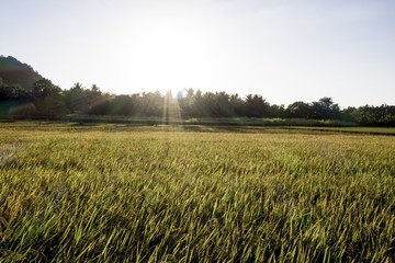 Beautiful shot of a grassy field with trees in the distance with the sun shining in the background Fotoväggar