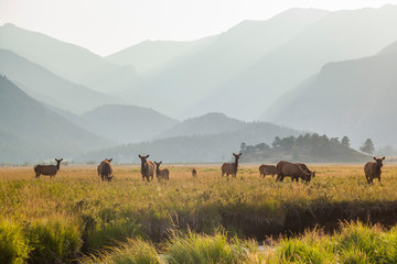 Elk grazing in meadow at sunset in Rocky Mountain National Park