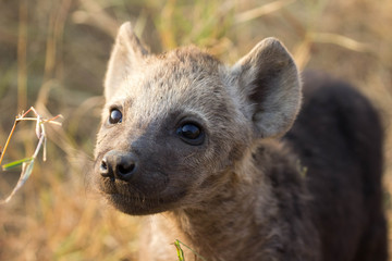 Photo sur Plexiglas Hyène black spotted hyena