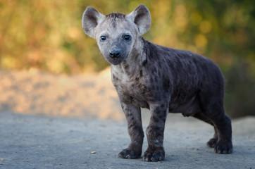 Fotobehang Hyena black spotted hyena