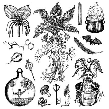 Mythical mandrake plant in vintage style. Fantasy magic flower and ingredients for witchcraft. Hand drawn engraved old retro sketch. Vector illustration.