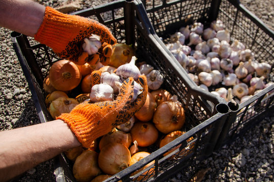 Harvesting and sorting onions and garlic in boxes