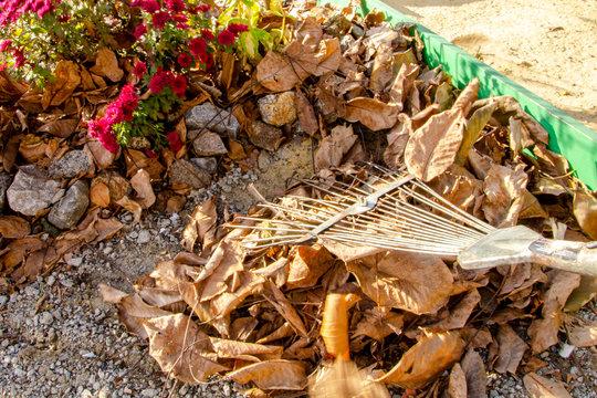 Autumn harvest of fallen yellow leaves