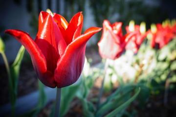 Obraz Tulipan czerwony - fototapety do salonu