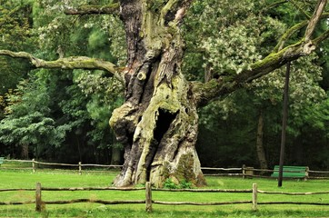 Rus - Around seven hundred years old oak tree at rogalin village palace and monumental oaks park. Protected nature. Looks a bit crazy, funny or happy.