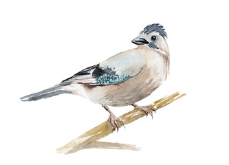 watercolor drawing of a bird - jay on a branch