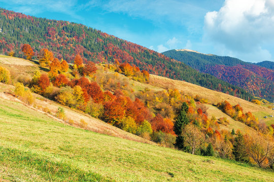 beautiful rural landscape of carpathian mountain. sunny weather with fluffy clouds on the sky. amazing vivid nature scenery with trees in colorful foliage on rolling hills