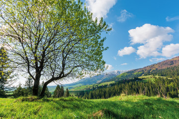 tree on the grassy meadow in mountains. beautiful warm sunny day. great springtime landscape.  ridge with snow capped top. blue sky with fleecy clouds