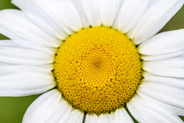 Closeup of a daisy flower