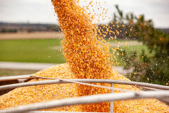 Closeup of field corn kernels pouring into a semi trailer