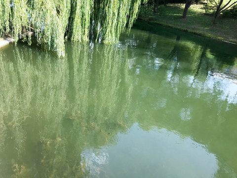 Green blooming water in a lake pond and branches with leaves of a weeping willow tree hanging in the water on a river on nature