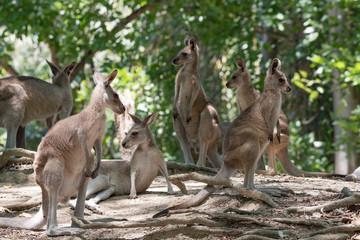 Poster de jardin Kangaroo Kangaroos in Australia