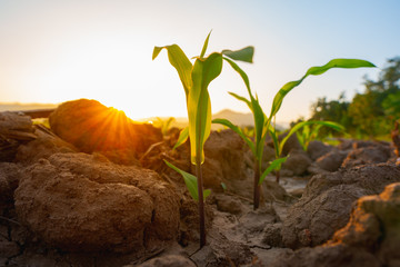 Maize seedling in the agricultural garden with the sunset, Growing Young Green Corn Seedling Fotomurales