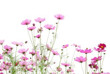 Fototapete - Beautiful pink cosmos flower blooming in the field.