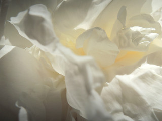 Soft Blurred image. International women day. Stylish peonies close-up. Beautiful texture of white peony petals with space for text. Happy mother's Day, floral greeting card layout. Valentines day
