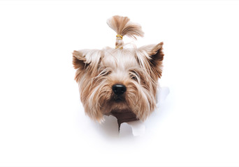 The head of old dog through a hole on a white torn paper background. Yorkshire Terrier. Horizontal studio image, copy space. Concept of spy, curiosity and snoop.