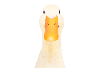 Portrait of acurious duck, closeup, isolated on white background