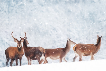 Group of beautiful male and female deer in the snowy forest. Noble deer (Cervus elaphus).  Artistic Christmas winter image. Winter wonderland.