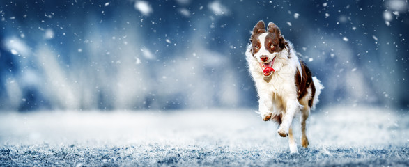 Young border collie dog is happy from snow and jumping on winter meadow. Dogs wide banner or panorama.